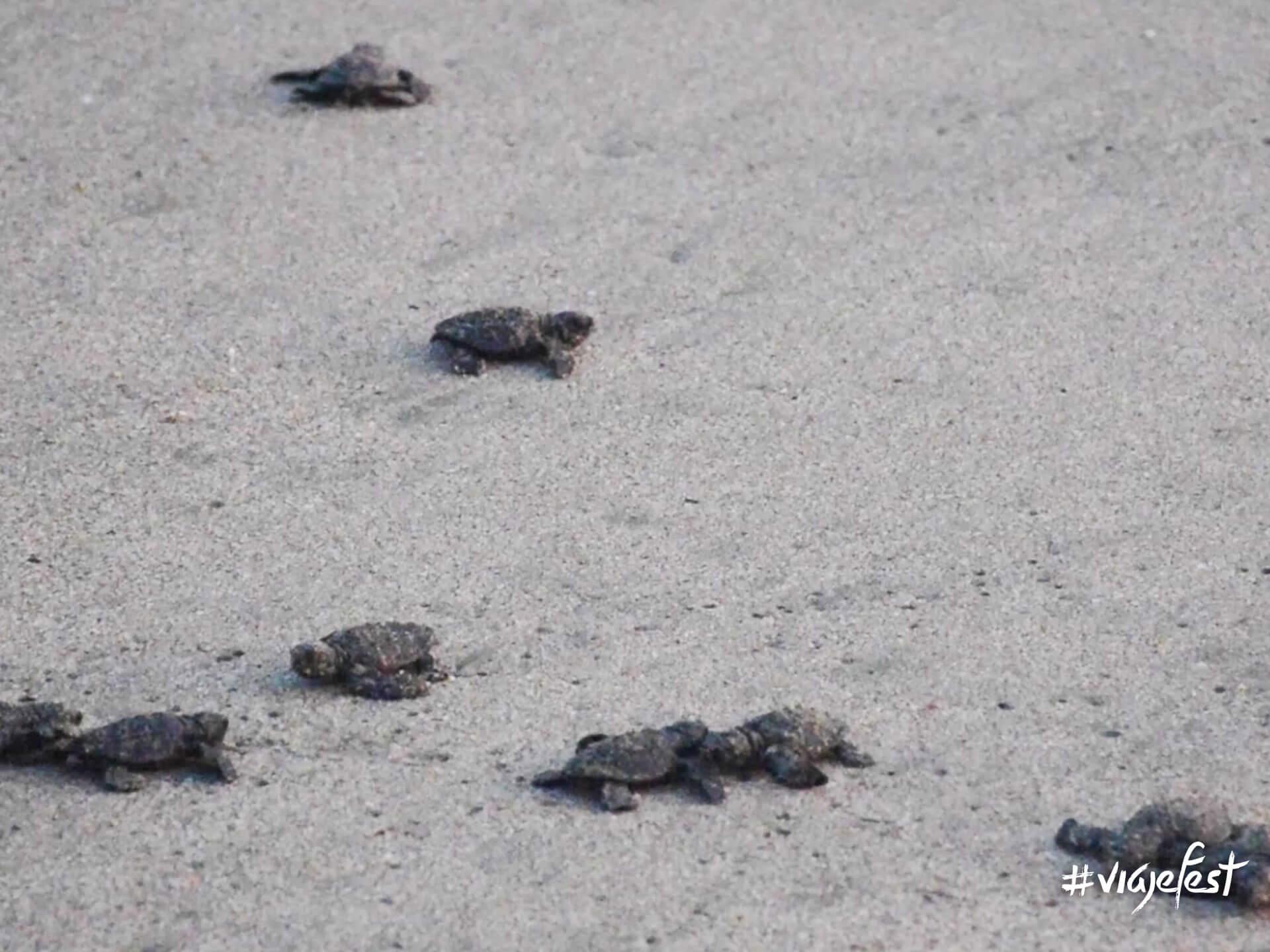 Liberación de tortugas a la orilla del mar.