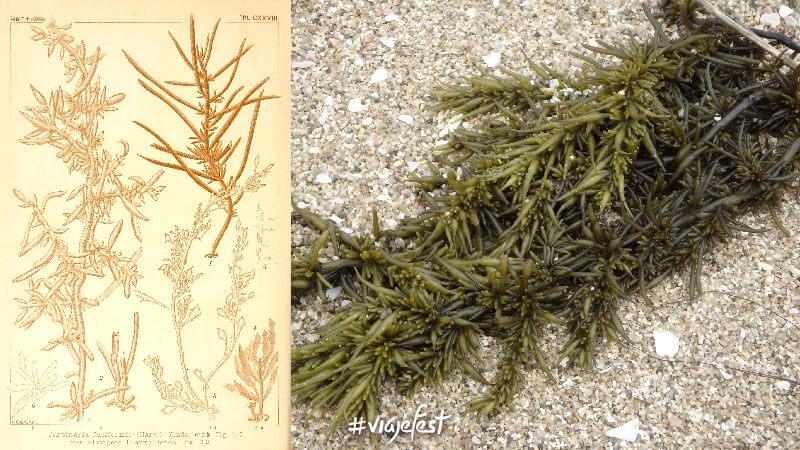 Sargassum Fusiforme, conocido como Hijiki, un alga parda comestible, cosechada en Asia