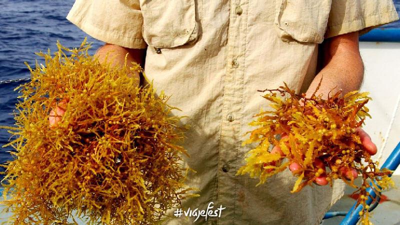 Sargassum fluitans y sargassum natans, las dos especies de sargazo que recalan en México