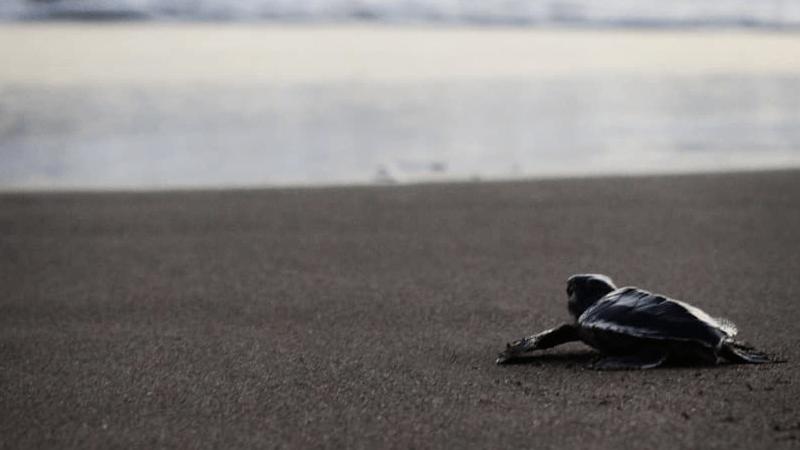 Liberación de tortugas en Playa Delfines de agosto a noviembre