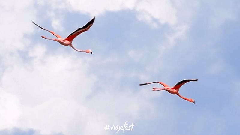 Los flamencos son aves rosas muy bellas